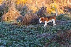 Beaglet i ottajakten i skogen arkivfoto