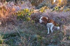Beaglet i ottajakten i skogen arkivfoton