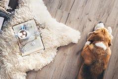Beaglet ligger på laminatgolvet nära fårskinnmattan med arkivbilder