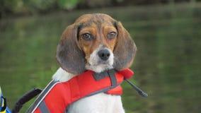 Beaglet stirrar ner royaltyfri foto