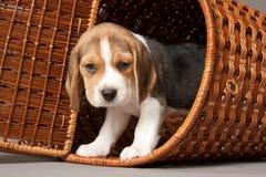Beaglevalp i korg Fotografering för Bildbyråer