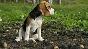 Beaglevalp i rad med nya potatisar arkivfilmer