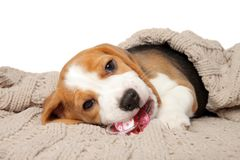 Beaglevalp som ligger under filten arkivbild