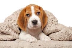 Beaglevalp som ligger under filten royaltyfri foto