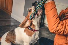 Beaglevalp som spelar med ägaren arkivfoton