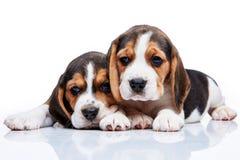 Beaglevalpar på vit bakgrund arkivbild