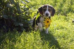 Beaglevalpnederlag bak blomman Arkivfoto