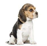 Beaglevalpsammanträde som isoleras arkivfoto
