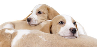 Beagly Puppies. Beagle Puppy Lieing  on other beagle puppy Royalty Free Stock Images