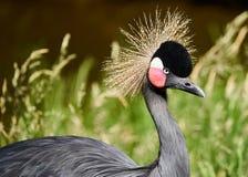 Beaitiful czerni koronowany dźwigowy ptak zdjęcie royalty free