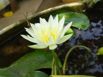 beaitiful white color lily folower of sri lankan stock photo