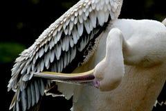 beak пер чистки большие его белизна пеликана крюка Стоковое фото RF