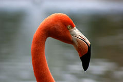 Beak. Flamingo head shot close-up showing detail of eye and beak Stock Photography