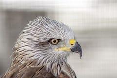 Beak, Bird, Bird Of Prey, Eagle stock image