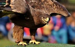 Beak, Bird, Bird Of Prey, Eagle royalty free stock images