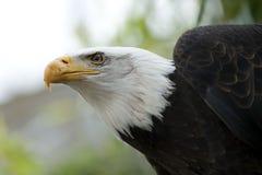 Beak, Bird, Bird Of Prey, Eagle stock images