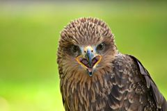 Beak, Bird, Bird Of Prey, Falcon Royalty Free Stock Photos