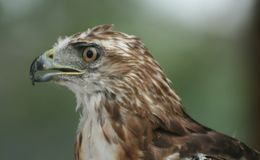Beak, Bird, Bird Of Prey, Hawk Royalty Free Stock Photo