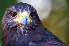 Beak, Bird, Bird Of Prey, Hawk Royalty Free Stock Photos