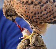 Beak, Bird, Falcon, Hawk Royalty Free Stock Photo