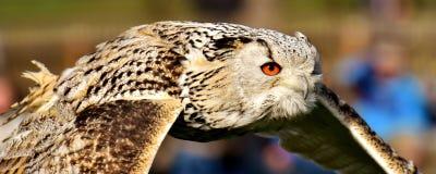Beak, Bird, Fauna, Owl royalty free stock images