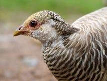 Beak, Bird, Galliformes, Fauna
