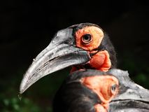 Beak, Bird, Hornbill, Fauna Royalty Free Stock Photo