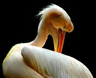Beak, Bird, Pelican, Fauna Royalty Free Stock Photo