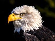 Beak, Bird Of Prey, Eagle, Bird stock photography