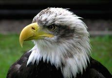 Beak, Bird Of Prey, Eagle, Bird royalty free stock photo