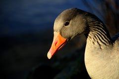 Beak, Bird, Water Bird, Ducks Geese And Swans Stock Image