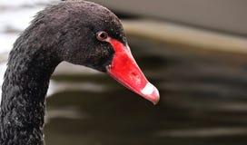 Beak, Black Swan, Water Bird, Bird stock photos