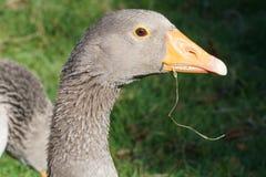 Beak of a canada goose Royalty Free Stock Photo