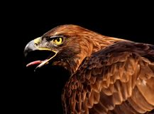 Beak, Eagle, Bird Of Prey, Bird royalty free stock image