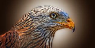 Beak, Fauna, Bird, Hawk Stock Images