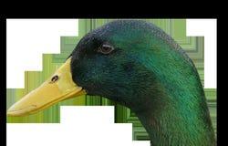 Beak, Fauna, Duck, Bird Royalty Free Stock Images