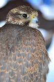 Beak, Hawk, Bird, Bird Of Prey royalty free stock photo