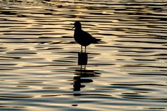 Silhouette of seagull with open beak standing on a post on a golden still lake at sunset stock photography