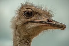 Beak ostrich Royalty Free Stock Photography