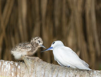 Beak to beak. White Tern (Gygis alba) with chick, Bird Island, Seychelles Royalty Free Stock Photo