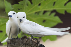 Beak to beak. Pair of White Terns(Gygis alba), Bird Island, Seychelles Royalty Free Stock Photography