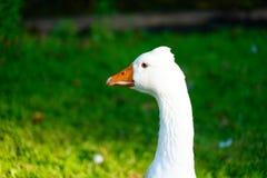 Beak of a white goose. Orange beak of a white goose stock images