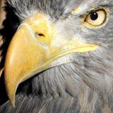 Beak. Yellow eagle's beak with eagle's eye Stock Photo