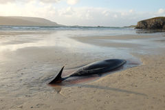 Beaked whale carcass. The carcass of a beaked whale, Ziphiidae, lays beached on the sand with the sea in the distance Stock Images