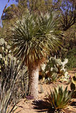 Beaked yucca Royalty Free Stock Images