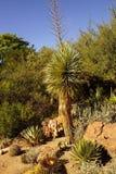 Beaked yucca Stock Image