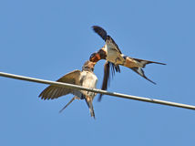 Beakful of swallow Stock Photography