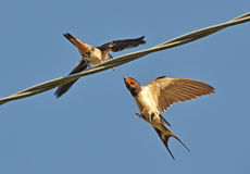 Beakful of swallow Royalty Free Stock Photography