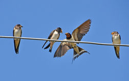 Beakful of swallow. Swallow feeding one of three cubs Royalty Free Stock Image