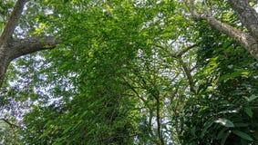 Beal-Baum in einem grünen Wald in Indien lizenzfreies stockbild